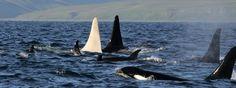 Iceberg es el nombre de esta orca albina fotografiada por el equipo de científicos de Erich Hoyt. Tiene una aleta dorsal de dos metros de altura, lo que indica que se trata de un macho adulto y, por lo tanto, que tiene más de 16 años.  Ha sido avistada frente a las costas de Kamchatka, al este de Rusia.