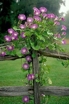 HILL COUNTRY: Morning Glories on Grey Fence Post.