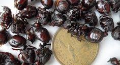 Eating Ants in Peru