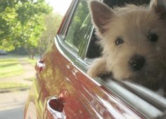 There's only one thing a Westie loves more than being outside...and that's being with you