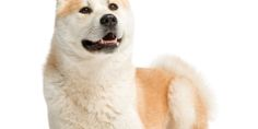 Akita Inu, 2 years old, lying and panting, isolated on white