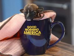 A tiny puppy named Beyonce, not much bigger than a business card, has defied odds by surviving. At a day old, Beyonce could fit in a tablespoon. Now, at a little more than 2 weeks old, weighs 4 ounces and is no bigger than an iPhone - setting the new world record for the Smallest puppy, according to World Records Academy.  Beyonce is one of five puppies born to Casey, a Dachshund mix.
