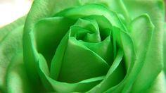 Green rose wallpaper