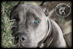 Pitties are the most beautiful dogs. I think it comes from the glow of love in their hearts.