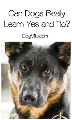 Can dogs learn yes and no? Can they really understand the meaning behind the words? Find out the answer