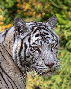 Albino tiger    TY Mimi