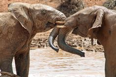 Cooling Off - These two young elephants were playing and splashing in the nice cool water: Photo of Aquila Game Reserve Wildlife Safari from Cape Town by Viator user Alissa Oh The Places You'll Go, Places To Travel, Free Travel, Travel List, Wildlife Safari, Animal Games, Game Reserve, African Safari, Cape Town