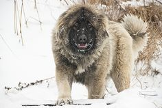 I'm a sucker for big, fluffy, teddy bear looking dogs. So that means the Caucasian Ovcharka, aka Caucasian Shepherd Dog, has to have some light shone on it!
