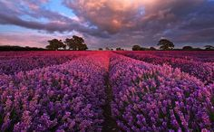 England's Incredibly Dreamy Lavender Field - My Modern Metropolis