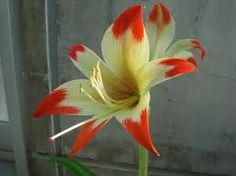 hippeastrum nelsonii - Google Search Amaryllis Bulbs, Amarillis, Day Lilies, Botany, Houseplants, Garden Art, Indoor Plants, Flower Pots, Tulips