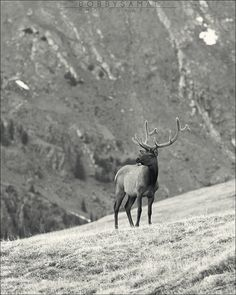 Beautiful Elk in Rocky Mountain National Park, Colorado