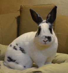 Tippy is an adoptable Bunny Rabbit Rabbit in Baltimore, MD. Tippy is a busy gal always rearranging her condo. She loves to explore but will quickly settle down for a good nose rub. For more informatio...