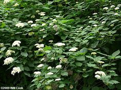 Wild Hydrangea (Hydrangea arborescens) This is just north of the Sumac on the west side of our house.