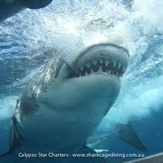 Shark Cage Diving at its' best!Here is a great photo showing how a Great White Sharks jaw extends when they bite. Imagine being in the cage taking this photo!