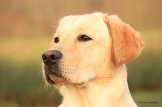 Labrador Retriever 14 Monate
