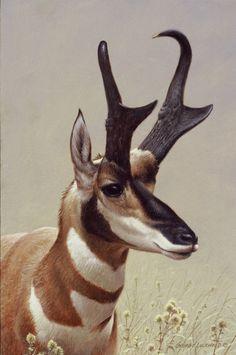 © George Lockwood { website } Pronghorn antelope