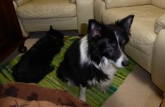 The visiting dogs; Ben the black Scottie and Bess the ancient Border Collie. Fair Isle Knitting, Scottie, Border Collie, Corgi, Pattern, Animals, Black, Corgis, Animales