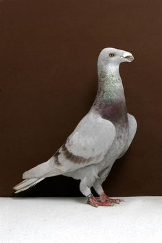 Grand National Pigeon Show champions - Slideshows and Picture Stories - TODAY.com
