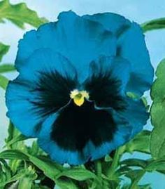 love Pansies, and have never seen one this color. Pansy Swiss Giant BlueI love Pansies, and have never seen one this color. Window Box Flowers, Beautiful Flowers, Exotic Flowers, Purple Flowers, Johnny Jump Up, Flower Pots, Pansy Flower, Flower Baskets, Cactus Flower