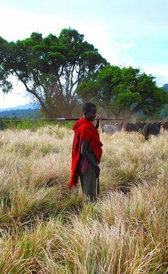 massai with cattle in Tanzania,