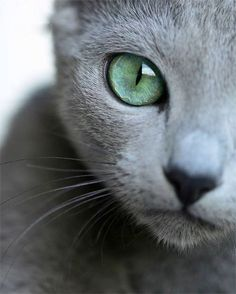 Russian Blue Cats Kittens Oh, those eyes! Beautiful Cats, Animals Beautiful, Cute Animals, I Love Cats, Cool Cats, Face Chat, Kittens Cutest, Cats And Kittens, Chartreux Cat