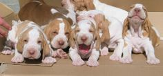 Bracco Italiano, OMG the puppy on the right :)