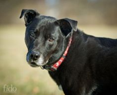 Stefano is an adoptable Labrador Retriever Dog in Wilmington, DE. I was born in October 2004 and returned to DHA after almost six years in an adoptive home because family was going through some change...