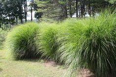 Miscanthus sinensis 'Gracillimus' (Maiden grass)