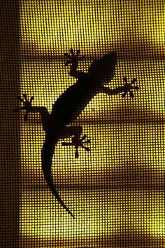 Curious Gecko by Carlos Barbeitos, via 500px