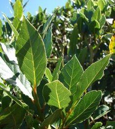 Come utilizzare le foglie di alloro per placare ansia e stress