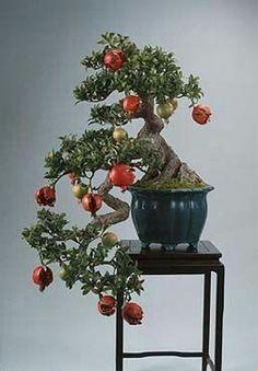 Miniature Pomegranate