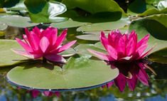Welcome to this weekends Water Lily Art Challenge! Water Lilies have to be one of the most graceful and beautiful plants to adorn our ponds and lakes. Blooming Flowers, Flower Petals, Pink Flowers, Water Plants, Water Garden, Lily Garden, Shade Garden, Pond Habitat, Outdoor Ponds