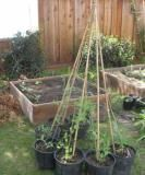 Pea teepee for the boys (using pots).