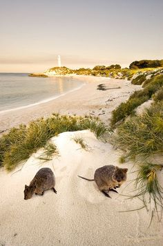 Rottnest Island is een eiland voor de westkust van Australie. Toen eeuwen geleden de eerste Nederlandse ontdekkingsreizigers voet aan wal zetten op dit eiland, gaven ze het de naam Rattennest eiland vanwege de vele, gigantisch grote ratten die op het eiland woonden. Wisten die Nederlanders veel dat die grote ratten helemaal geen grote ratten waren maar eigenlijk hele kleine kangoeroe's,  die we vandaag de dag quokka's noemen!