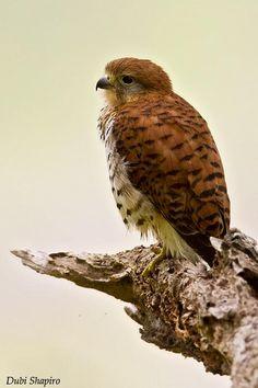 Mauritius Kestrel (Falco punctatus) Adult guarding a nest