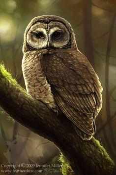 Northern Spotted Owl by Jennifer Miller