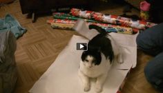 How To Wrap A Cat For Christmas http://www.pawbonito.com/how-to-wrap-a-cat-for-christmas/