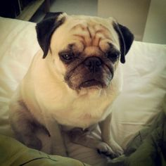 Pug is not ready to face the morning (S)