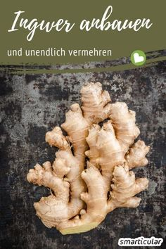 Pflanzen Ginger is healthy and can be used in many different ways. Instead of buying expensive bulbs Hydroponic Plants, Hydroponic Growing, Hydroponics, Super Bubbles, Fall Planters, Garden Types, Orchid Care, Large Plants, Garden Care