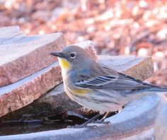 Yellow Rumped Warbler, nice eye-wring!