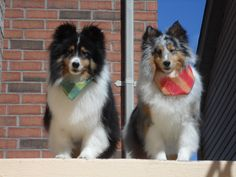 Well groomed shelties on the step