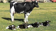 What are the odds of all-girl quadruplet calves being born and actually surviving the birth? That would be 1 in 179.2 million, according to HLN affiliate KRCR. And on a California dairy farm, the stars aligned and mama cow gave birth to four healthy baby cows.