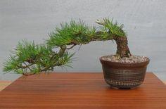 han kengai bonsai - Szukaj w Google