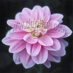 """RANDI DAWN (BWL) Introduced in 1985. The largest waterlily we offer. The 8"""" blooms are of soft pink lavender with a white frosting on the petal edges. The 5' bushes are strong and vigorous. Late bloomer. Recommended as a cut flower."""