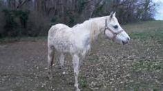 Pur sang Arabe, PP, 20 ans, gentil cheval qui est sorti en concours. Se situe dans le Tarn. 200€ E-Mail : equilvive.contact@orange.fr Téléphone : 05.63.73.45.21 / 06.75.65.52.33 Adresse: Association Equilvive La Bardonnié 81330 st pierre de Trivisy