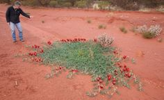 Sturt's Desert Pea on the side of the Great Central Road, north east of Laverton