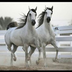 Arabian beauties on the run. - Equine