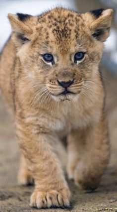 Lions are a vulnerable species! There has been a decrease in population of wild African lions since 1990 Big Cats, Cats And Kittens, Cute Cats, Nature Animals, Animals And Pets, Wildlife Nature, Wild Animals, Beautiful Cats, Animals Beautiful