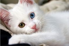 Green Eye, Blue Eye cat I want this cat....