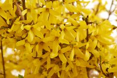 A Dozen Dazzling Shrubs for Early Spring Color - FineGardening Chicago Botanic Garden, Blue Fruits, Yellow Springs, Garden Shrubs, Spring Bulbs, Small Trees, Seed Starting, Trees And Shrubs, Lily Of The Valley